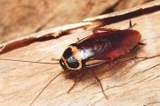 ความรู้ทั่วไปเกี่ยวกับแมลงสาบ